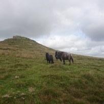 Dartmoor Ponies + Tor